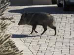A javelina looking for treats (barrel and other cactus) in someone's yard.