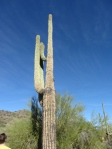Saguaro cactus, native only to the Sonoran Desert.